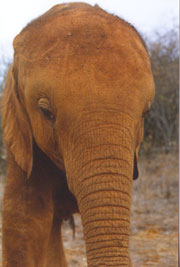 African Baby Orphan Copyright 2001 by The David Sheldrick Wildlife Trust