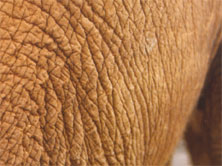 Baby Orphan Skin Copyright 2001 The David Sheldrick Wildlife Trust