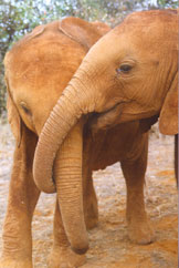 Two Baby Orphans  Copyright 2001 The David Sheldrick Wildlife Trust