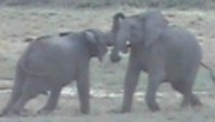 Two Duelling Elephants