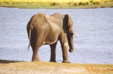 A Big Elephant Going For Water!